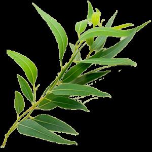 eucalipto, Componente Sumplemento Pecho Sano, Combate la gripe y los resfriados: